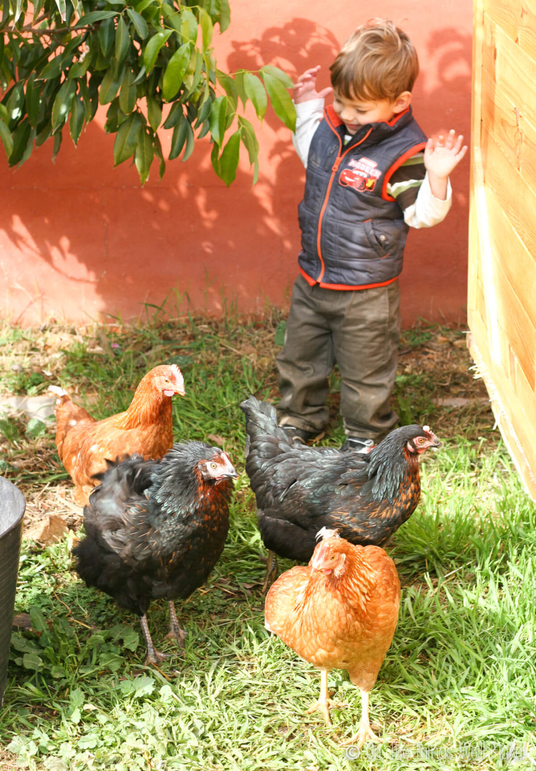 A boy with 4 hens, Pepper, Ginger, Nutmeg, and Ronaldiña.