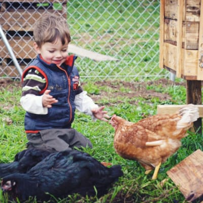 A little boy bent down on the ground, playing with several black and brown hens.