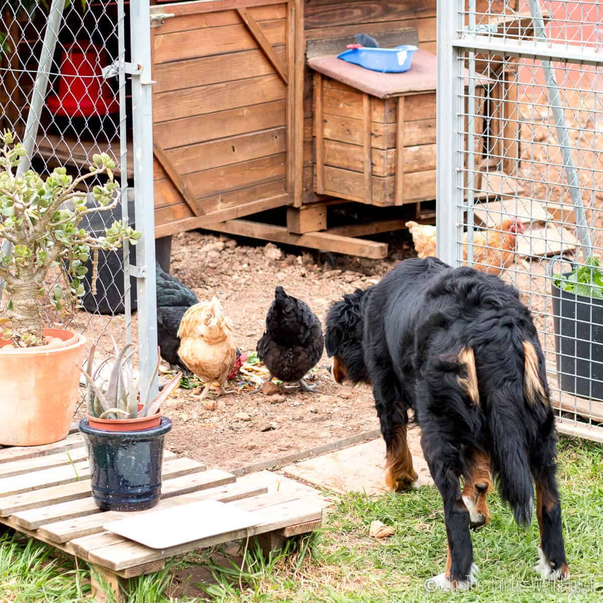 A dog looking at a group of hens