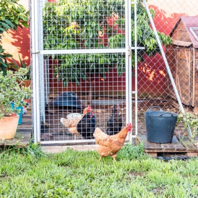 3 hens, 2 black and 1 brown, inside a chain linked fence with a wood house inside. 1 brown hen outside the fence walking around.