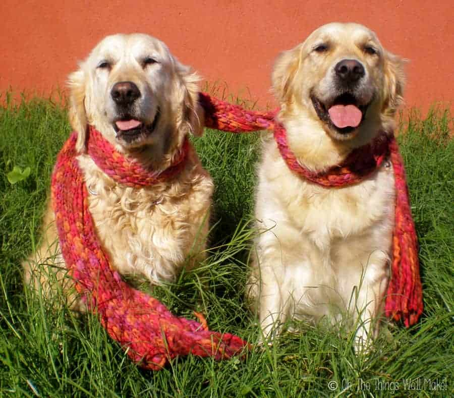 Two golden retrievers sharing a warm knitted scarf
