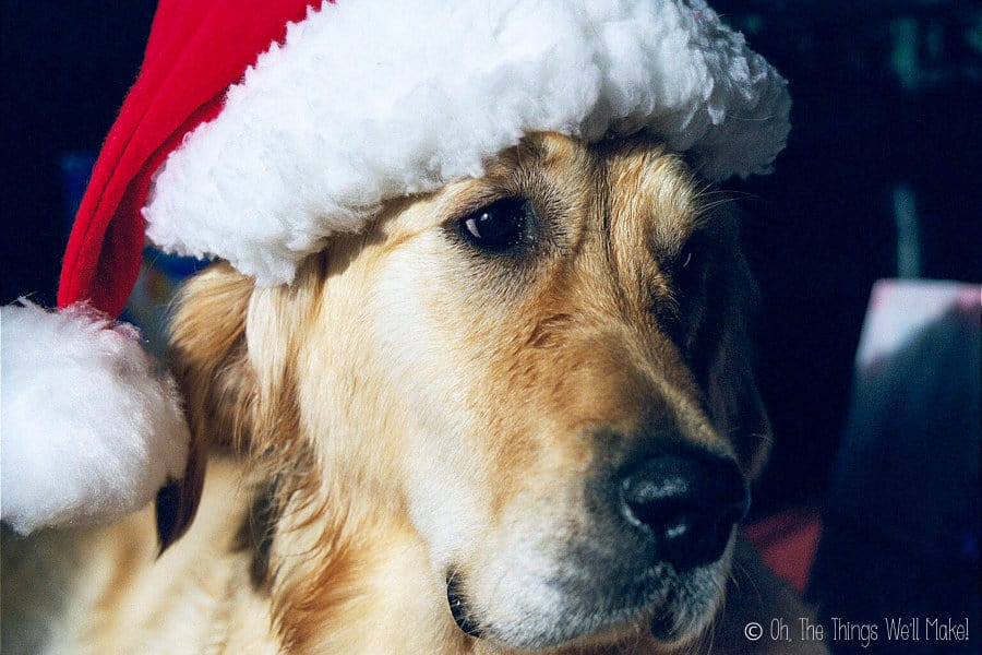 Golden retriever wearing a Santa Claus hat