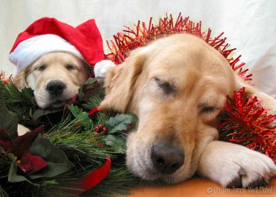Two golden retrievers asleep with tinsel and Christmas pine and holly. The puppy is wearing a Santa Claus hat.