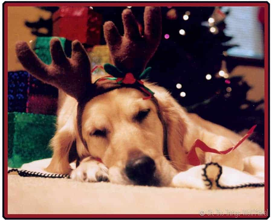 Golden retriever sleeping under a Christmas tree wearing reindeer antlers