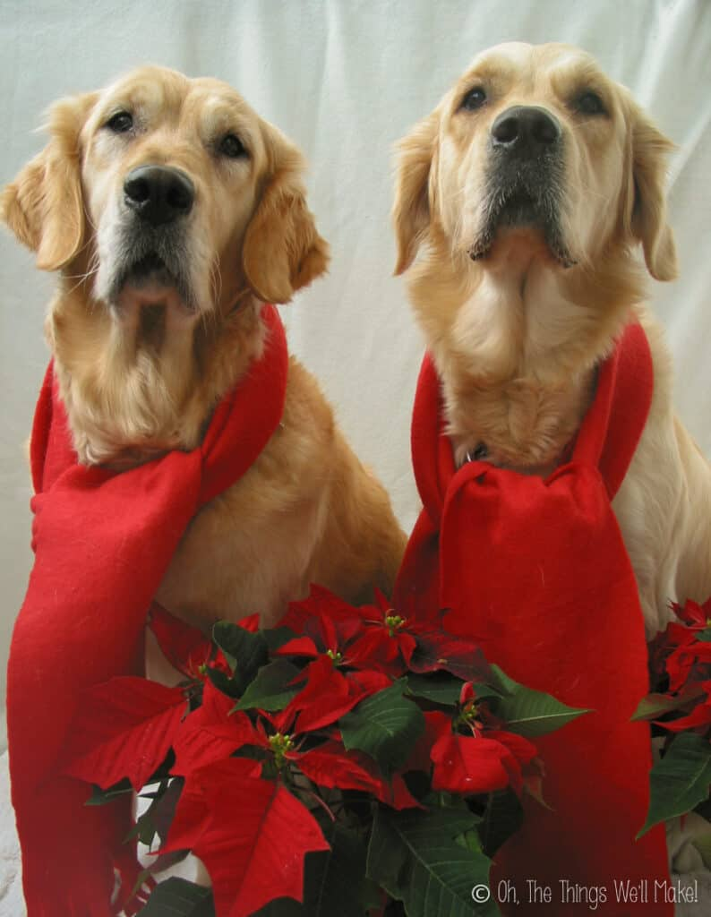 2 golden retrievers wearing scarves behind poinsettia plants