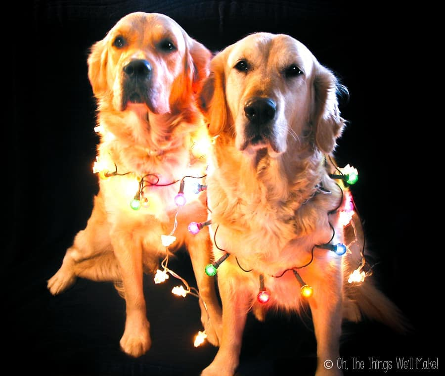 2 golden retrievers wearing Christmas lights