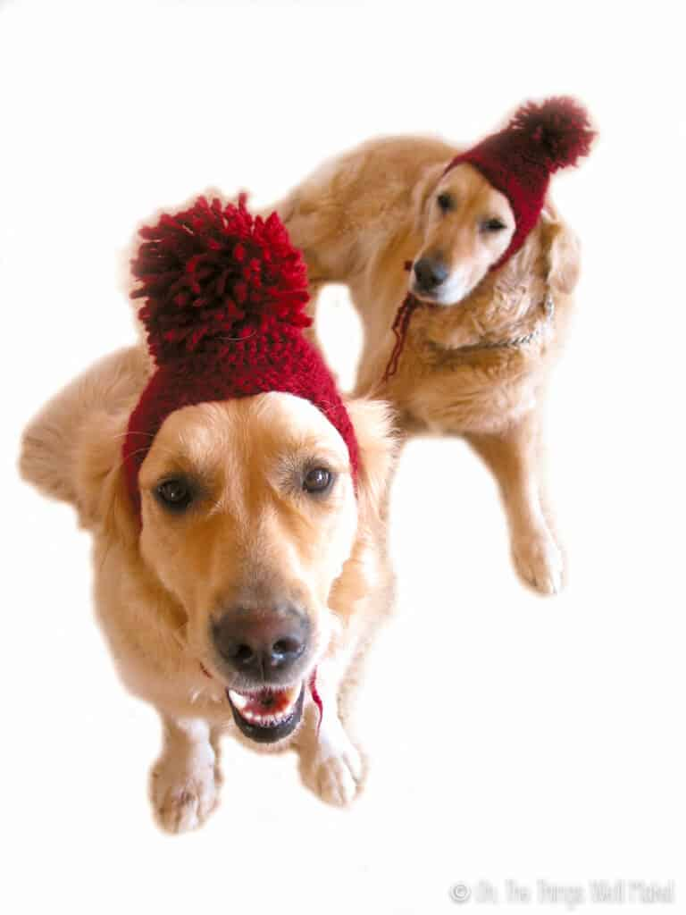 Two golden retrievers wearing snow hats with pompoms