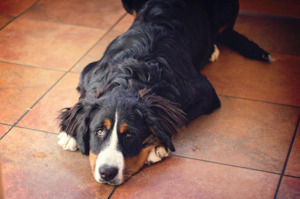 A Bernese mountain dog on the ground looking up.