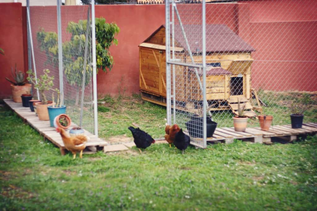 Four hens in the doorway of a chainlink fence surrounding a chicken coop. The fence has been surrounded by cut pallets.