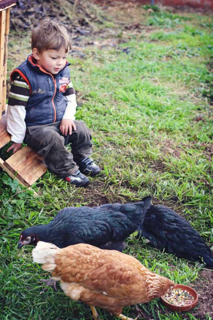 A young boy sitting and watching 3 hens eat from a small bowl.