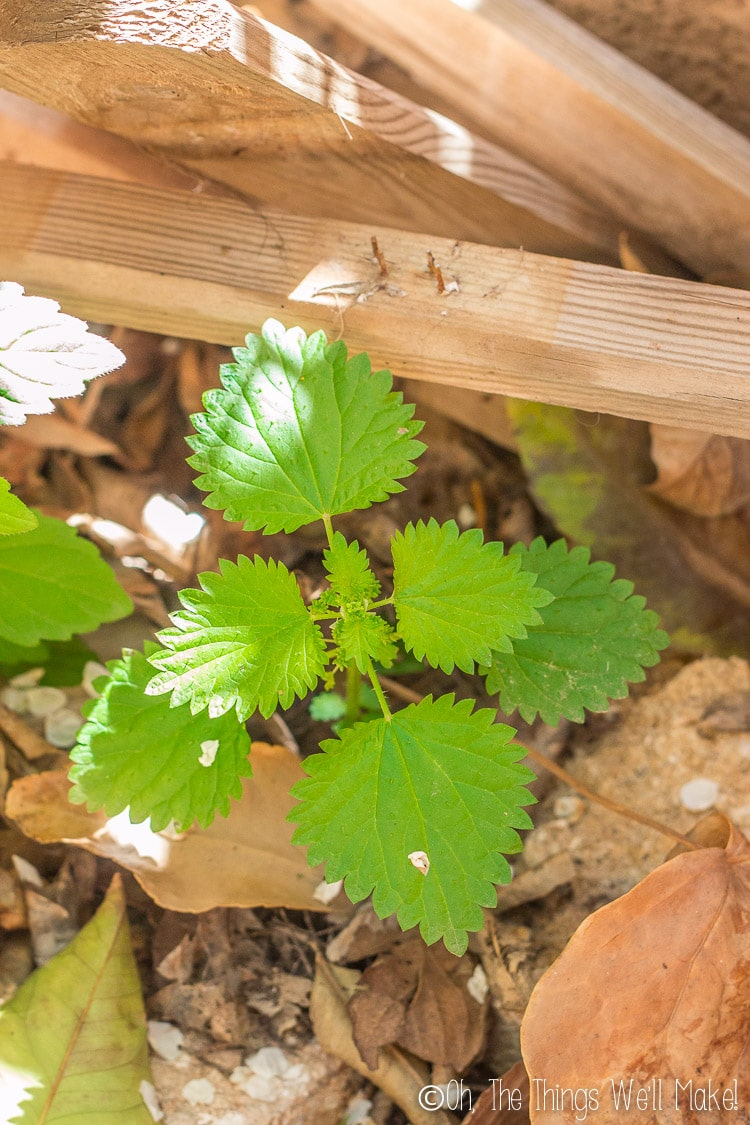 stinging nettle plant growing in the garden