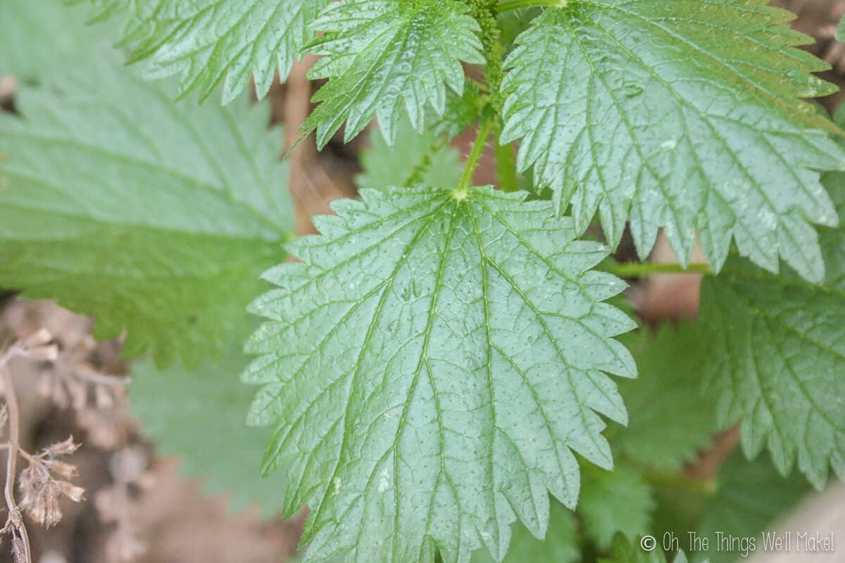Close up of green stinging nettle leaves.
