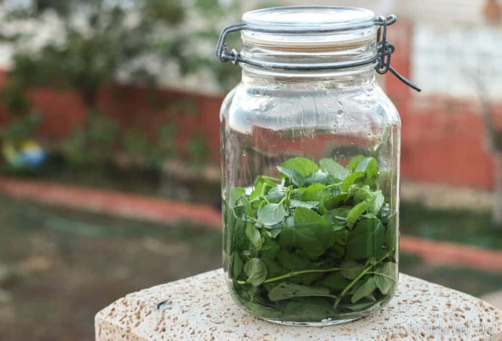 Fresh peppermint leaves in a glass jar with vodak, ready for making a peppermint extract and peppermint liqueur.