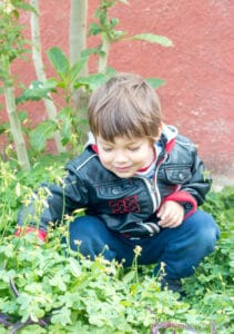A young boy in a patch of clovers looking for clovers for a St. Patrick's Day activity.