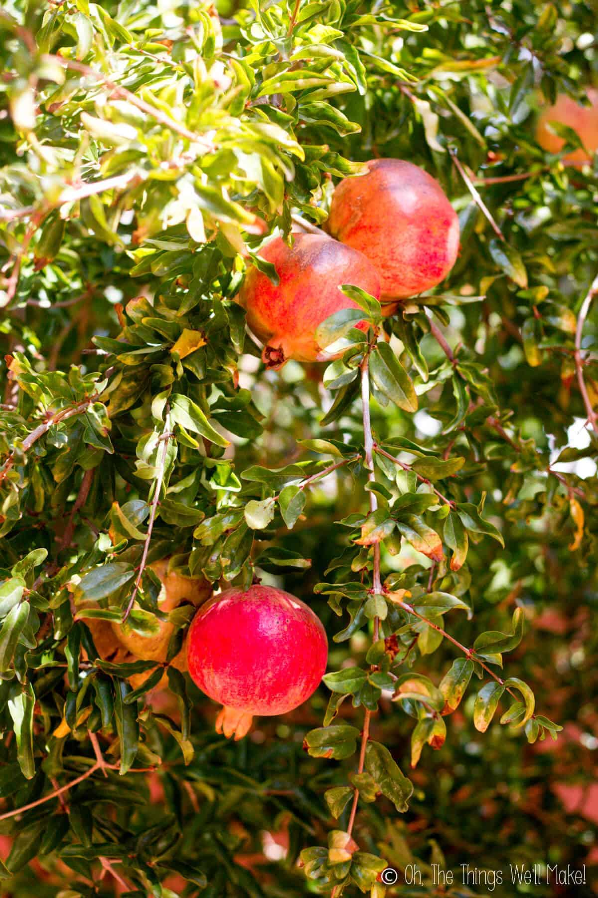 Several pomegranates growing on a pomegranate tree