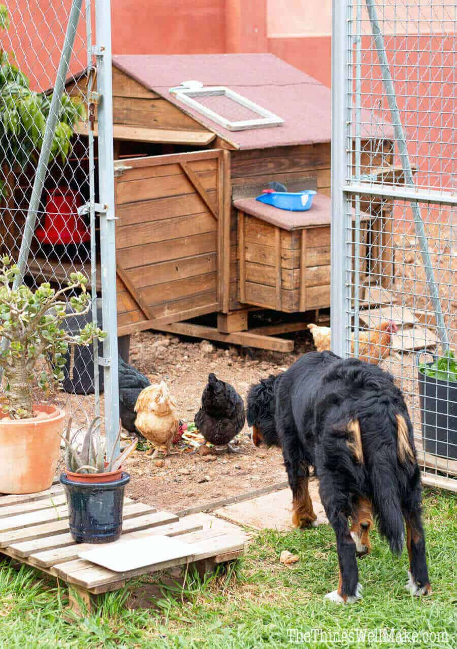 Keep your chickens safe in their enclosure by learning how to clip a chicken's wings to prevent it from flying away. It's easy and only takes a few minutes.