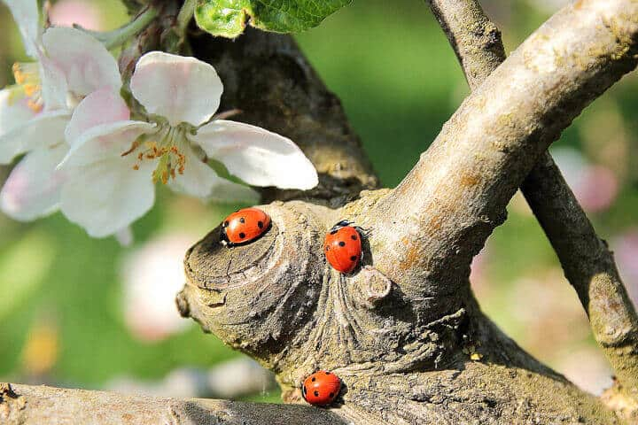 3 ladybugs on a tree branch