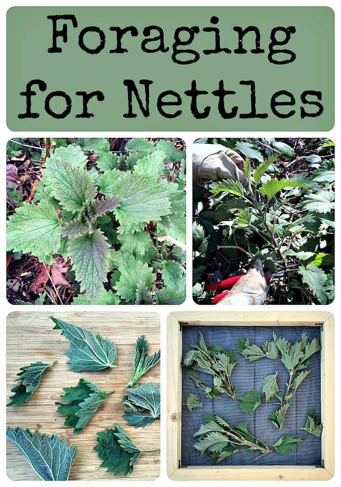 Foraging for nettles
