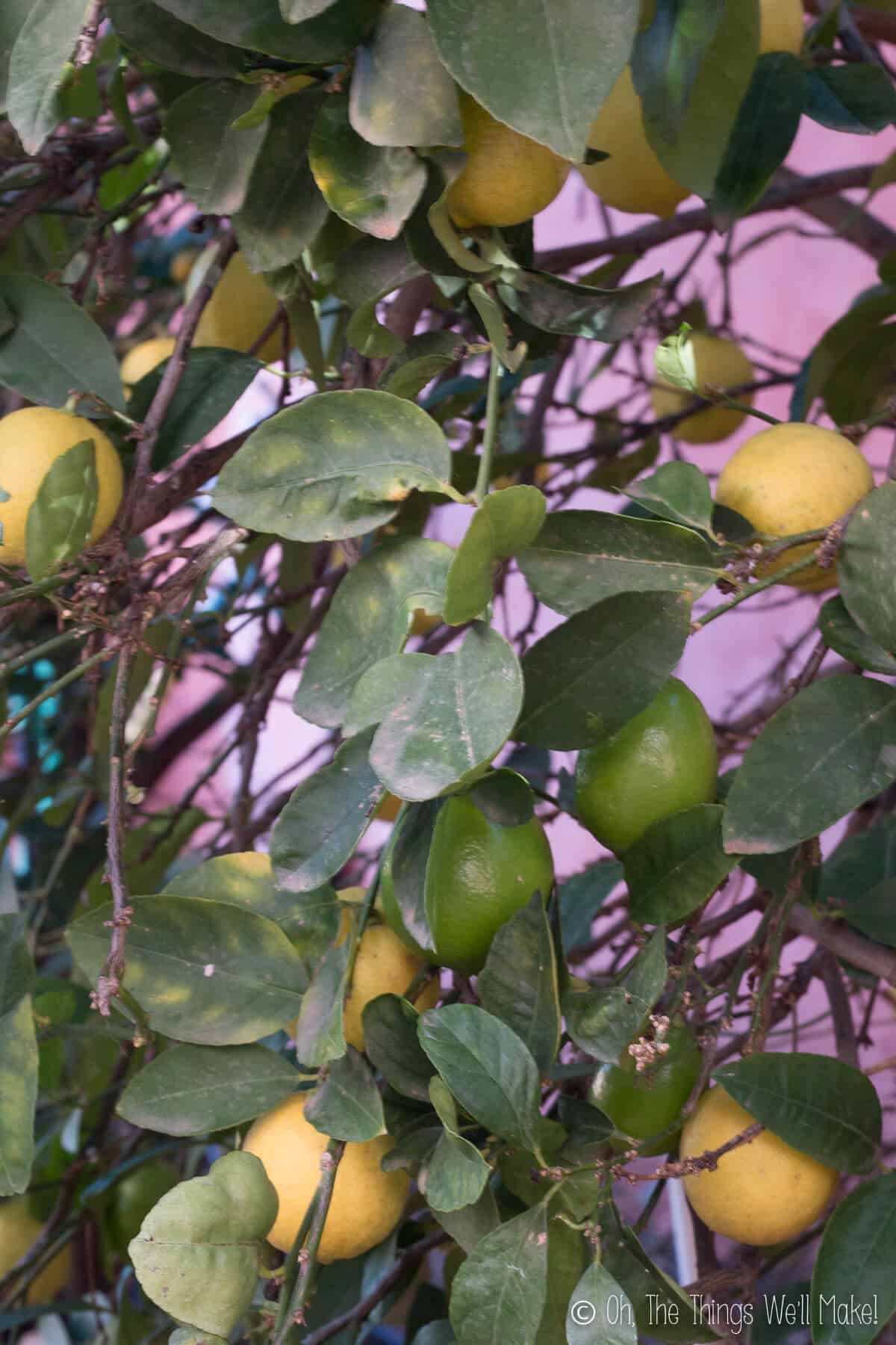 A key lime tree filled with varying colors of limes, some yellow and some green.