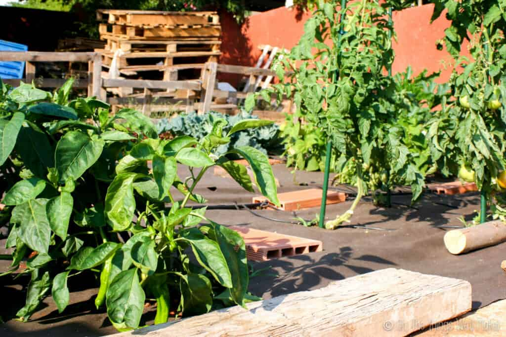 A vegetable garden hooked up to a drip irrigation system.
