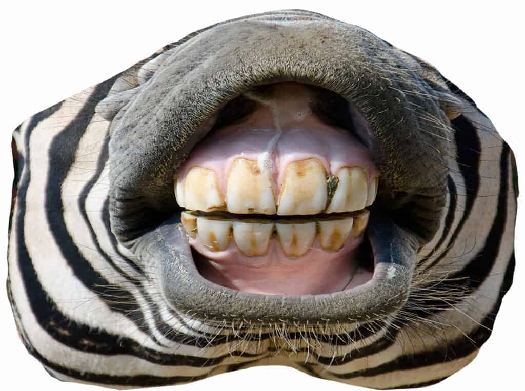Bottom half of a zebra face showing its teeth