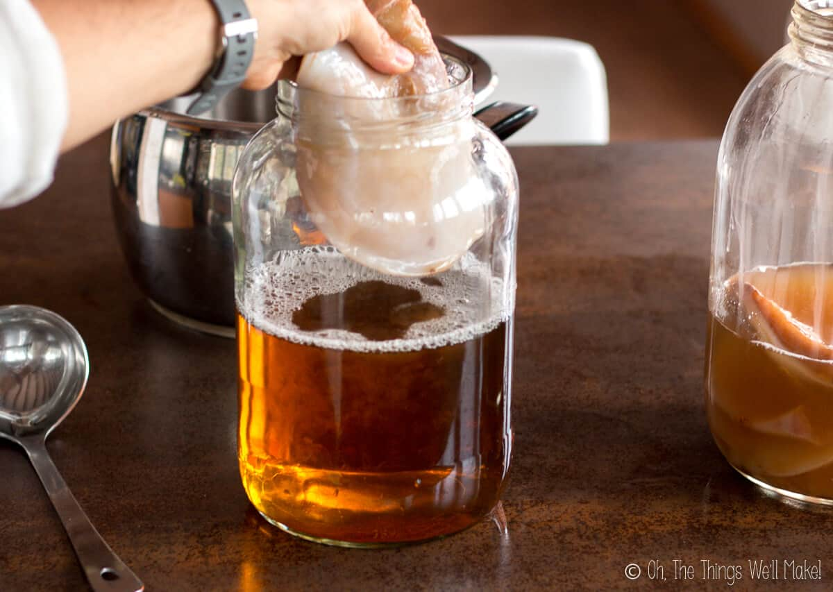 A hand holding a kombucha SCOBY over a jar of sweet tea