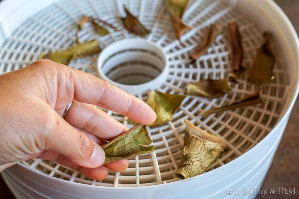 holding up dry pieces of aloe leaf over a dehydrator